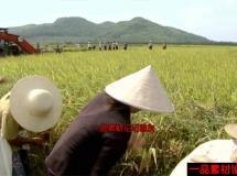 农民收割水稻的高清实拍视频素材