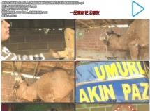 旅游景点介绍人们帮骆驼佩戴饰品动物生活文化高清视频实拍