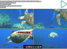 蓝蓝海底世界大海龟游动特写近距离镜头海龟游泳离去高清视频拍摄