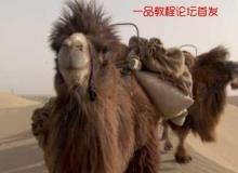 5组沙漠骆驼队高清实拍视频素材