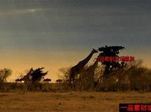 日落下的长颈鹿和犀牛的高清实拍视频素材1080P