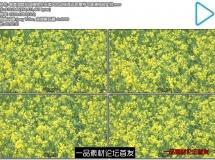 唯美油菜花田植物生长微风吹动摇摆近距离特写高清视频实拍