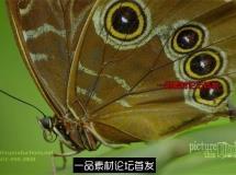 花丛蝴蝶翩翩起舞停歇花枝采食花蜜 超清微距实拍