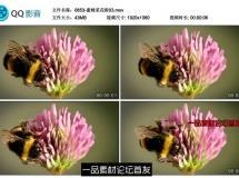 2段蜜蜂采花粉 粉红色漂亮的花苞 黄色野菊花蕊采蜜 高清实拍