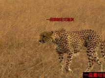 美洲豹高清实拍视频素材1080P