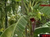 香蕉特写高清实拍视频素材1080P