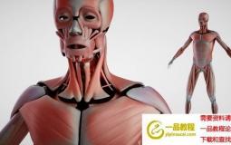 人体解剖3D模型 DOSCH 3D: Human Anatomy (C4D/MAX/OBJ/Maya等格式)