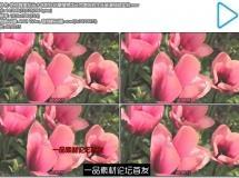 艳丽唯美花朵水珠附在花瓣植物花朵完美绽放生长高清视频实拍