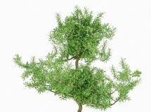 3D盆景模型  植物花卉盆景3Dmax下载