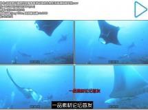 深蓝奇幻海底世界魔鬼鱼游动海底生物生活高清视频实拍