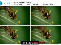 3段蜜蜂采花粉大镜头特写漂亮蓝色粉红色黄色花瓣花蕊采蜜 ...