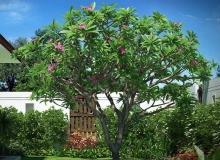 Turbosquid - Plumeria Frangipani Lelavadee Tree