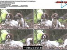 可爱小狗在野外草林休闲玩耍动物生活姿态高清视频实拍