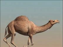 高细节逼真的骆驼(动画)3DMAX模型